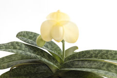 Fiore delle orchidee del Paphiopedilum Fotografia Stock Libera da Diritti
