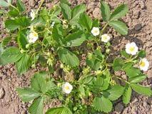 Fiore delle piante di fragola che coltivano alto vicino Fotografie Stock Libere da Diritti