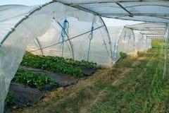 Fiore delle piante di fragola che crescono in copertura all'aperto della serra Fotografie Stock Libere da Diritti