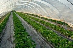 Fiore delle piante di fragola che crescono in copertura all'aperto della serra Fotografia Stock