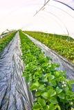 Fiore delle piante di fragola che crescono in copertura all'aperto della serra Fotografia Stock Libera da Diritti