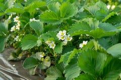 Fiore delle piante di fragola che crescono in copertura all'aperto della serra Immagini Stock