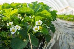 Fiore delle piante di fragola che crescono in copertura all'aperto della serra Fotografie Stock