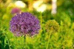 Fiore delle stelle Immagine Stock Libera da Diritti
