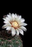 Fiore dello spazio della copia di quehlianum del gymnocalycium del cactus fotografia stock