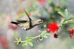Fiore dello spolveratore del fatato e del colibrì Vasto-fatturato femmina immagine stock