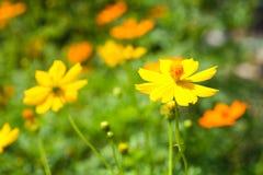Fiore dello starburst del fiore dello starburst del fiore di Starburst Immagine Stock Libera da Diritti