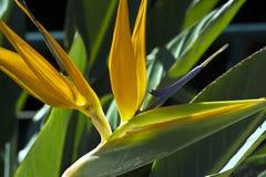Fiore dello strelitzia reginae Fotografia Stock Libera da Diritti