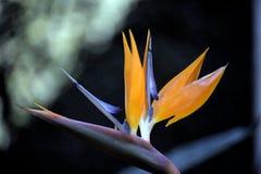 Fiore dello strelitzia reginae Fotografie Stock