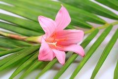 Fiore dello zafferano Immagine Stock