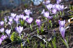 Fiore dello zafferano Immagini Stock