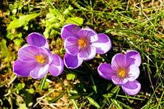 Fiore dello zafferano Fotografie Stock