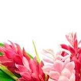 Fiore dello zenzero Fotografia Stock