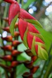 Fiore dello zenzero ad un giardino botanico Fotografie Stock