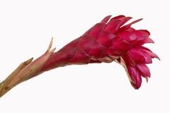 Fiore dello zenzero rosso Immagine Stock