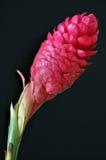 Fiore dello zenzero rosso Fotografia Stock