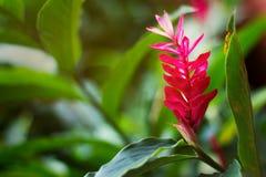 Fiore dello zenzero rosso Fotografia Stock Libera da Diritti