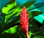 Fiore dello zenzero rosso Immagine Stock Libera da Diritti