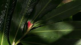 Fiore dello zenzero rosso in giardino Immagini Stock Libere da Diritti