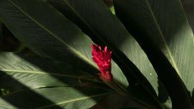 Fiore dello zenzero rosso in giardino Fotografie Stock Libere da Diritti