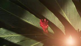 Fiore dello zenzero rosso in giardino Immagini Stock