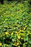 Fiore dello zucchini Immagine Stock Libera da Diritti