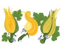 Fiore dello zucchino Immagini Stock