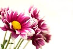 Fiore dentellare dei crisantemi Immagine Stock Libera da Diritti