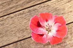 Fiore dentellare del geranio su priorità bassa di legno Immagini Stock Libere da Diritti