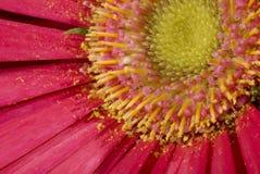 Fiore dentellare del Gerbera Fotografie Stock Libere da Diritti
