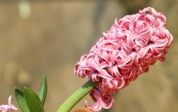 Fiore dentellare del giacinto Fotografie Stock Libere da Diritti