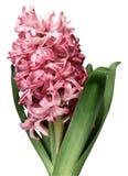 Fiore dentellare del giacinto contro priorità bassa bianca Fotografia Stock