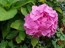Fiore dentellare del giardino Immagine Stock Libera da Diritti