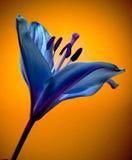 Fiore dentellare del giglio Fotografie Stock