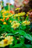 Fiore dentellare del giglio Bello giglio rosa e fondo verde della foglia nel giardino al giorno soleggiato della primavera o di e immagine stock libera da diritti