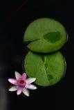 Fiore dentellare del giglio di acqua Fotografia Stock