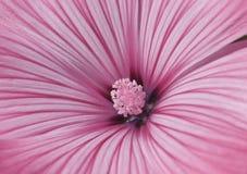 Fiore dentellare del Lavatera Fotografia Stock