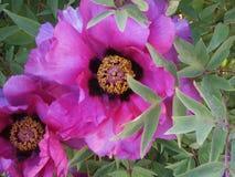 Fiore dentellare del peony fotografia stock