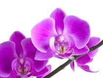 Fiore dentellare dell'orchidea Fotografie Stock