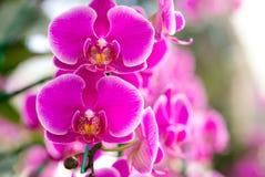 Fiore dentellare dell'orchidea di phalaenopsis Fotografia Stock