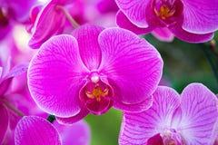 Fiore dentellare dell'orchidea di phalaenopsis Fotografia Stock Libera da Diritti