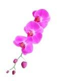 Fiore dentellare dell'orchidea isolato su bianco Fotografia Stock Libera da Diritti