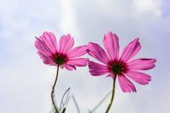 Fiore dentellare dell'universo fotografie stock libere da diritti