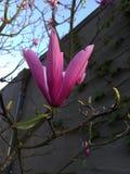 Fiore dentellare della magnolia Immagini Stock