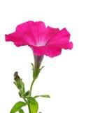 Fiore dentellare della petunia Immagine Stock