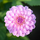 Fiore dentellare di Dhalia fotografia stock libera da diritti