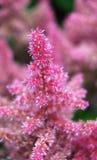 Fiore dentellare di fioritura Fotografia Stock Libera da Diritti