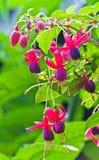 Fiore dentellare di Fuschia con le gocce dell'acqua. Immagine Stock