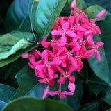Fiore dentellare di Ixora fotografia stock libera da diritti