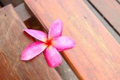 Fiore dentellare di Plumeria Fotografia Stock Libera da Diritti